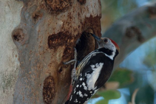middelste-bonte-specht-middle-spotted-woodpecker-dendrocopos-medius-1-20141219-1343838907B7A49BB6-336C-39F1-4CE0-5DEF4D2BC5BC.jpg