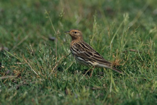 roodkeelpieper-red-throated-pipit-anthus-cervinus-20141219-1070428360E072B1E9-91D9-62F7-D890-2DEF5F53DB75.jpg