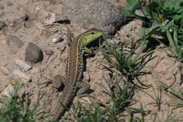 slangenooghagedis-snake-eyed-lizard-ophisops-elegans-20141219-1540301997A0F9256D-E232-AA58-0559-1E07BD75D949.jpg