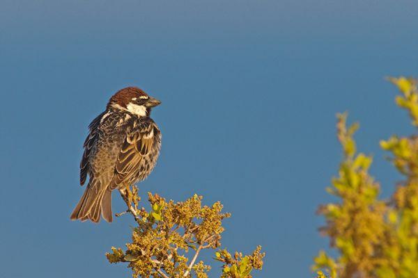 spaanse-mus-spanish-sparrow-passer-hispaniolensis-20141219-1028409910EC06E145-D3EC-B052-8B7E-8A54DF49862D.jpg