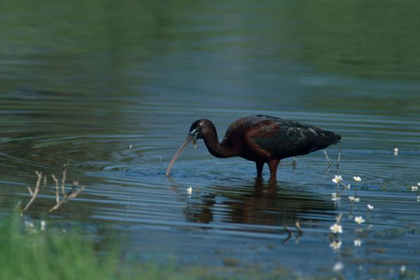 zwarte-ibis-glossy-ibis-plegadis-falcinellus-20141219-1698067041FE3B30C8-916E-4E19-F5F0-FF29DE9F0C9E.jpg