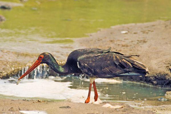 zwarte-ooievaarblack-stork-ciconia-nigra-20141219-1623756229F7905725-BA9B-92F0-C64A-8174BE47D9B3.jpg