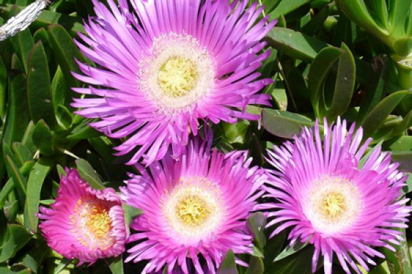 aster-aster-is-a-genus-of-flowering-plants-in-the-family-asteraceae-20150527-1843382916D9BBE60E-395F-FF49-B902-44EFBEBE9B7C.jpg