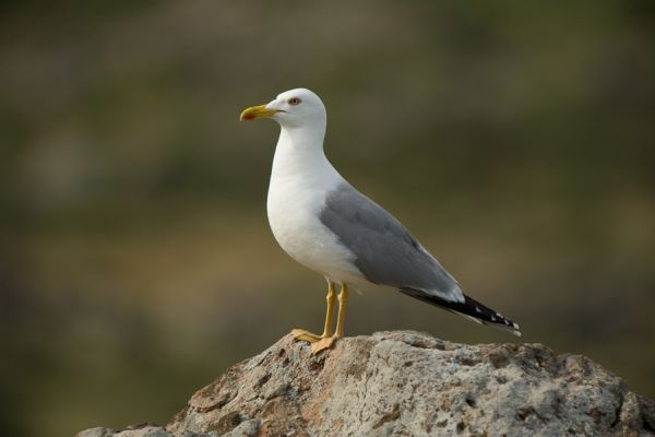 geelpootmeeuw-yellow-legged-gull-larus-cachinnans-20150527-1337287809FD7CB7CF-5FC8-4E6F-EBDE-45979FBBC20F.jpg