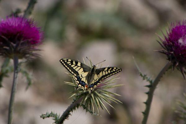 koninginnepage-swallowtail-papilio-machoon-20150527-19454335595D3B02B8-4010-F706-EBB0-1319E7A2BD1A.jpg
