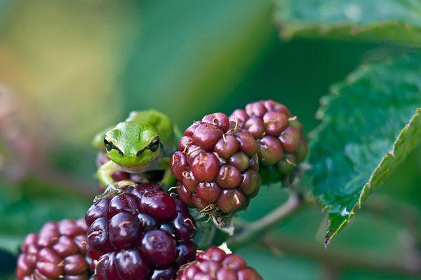 boomkikker-common-treefrog-hyla-arborea-20150113-14640013570CD6D3C2-20F6-112A-4044-129C04B48EF1.jpg