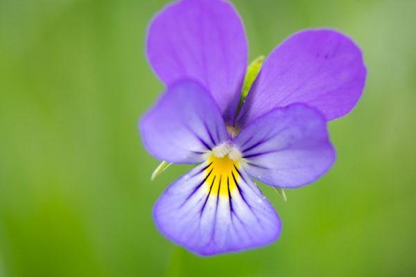 driekleurig-viooltje-heartsease-viola-tricolor-20150113-102903084035D9CD1F-CB26-46E1-43AB-706B70E739DE.jpg