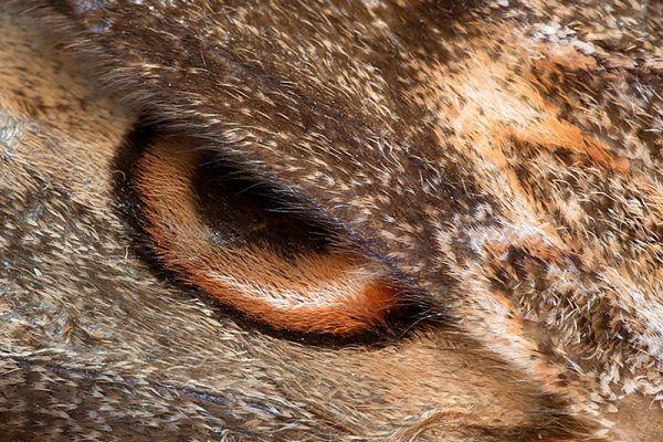 grote-nachtpauwoog-giant-peacock-moth-saturnia-pyri-20150113-119913597733007297-9E9B-FFB5-7BB3-CC8603E61A83.jpg