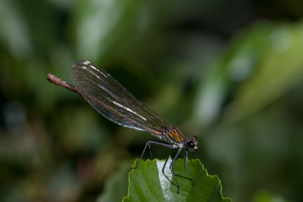 iberische-beekjuffer-western-demoiselle-or-yellow-tailed-demoiselle-female-calopteryx-xanthostoma-20150113-1786948538F238ABEF-B0E7-FF44-21EC-807E5B42A7B1.jpg