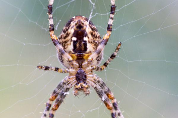 kruisspin-european-garden-spider-araneus-diadematus-20150113-1649088058377F744D-3336-C4D8-BFB2-AAE1DD61788D.jpg