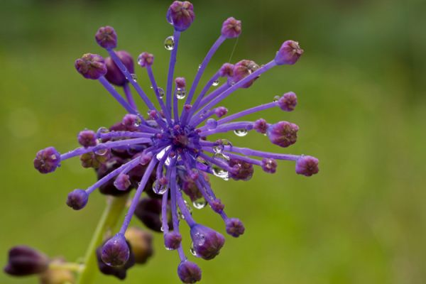 kuifhyacint-tassel-hyacinth-leopoldia-comosa-20150113-12714129303F4E3E5B-F307-189B-C884-63056219A98F.jpg