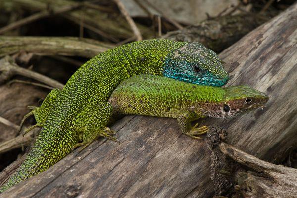 parelhagedis-ocellated-lizard-timon-lepidus-20150113-10160137241B2ECDC2-ED0F-DDDB-09F6-CB7DB8AD61EB.jpg