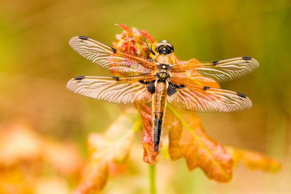 viervlek-four-spotted-chaser-libellula-quadrimaculata-20150113-1057463524830EF915-32AD-6AA2-AD3C-CF4C63EAEDCD.jpg