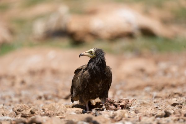 aasgier-egyptian-vulture-neophron-percnopterus-2-20141219-17321708648F5E8E33-771E-188E-C242-D413C407D268.jpg