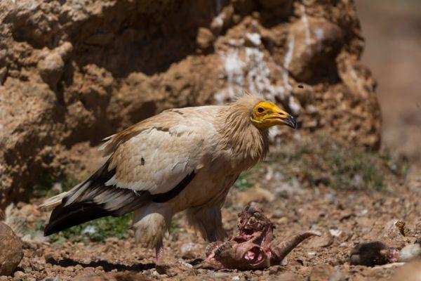 aasgier-egyptian-vulture-neophron-percnopterus-20141219-186420269921357D0A-1C5B-706C-E6E0-2328F095C7AE.jpg