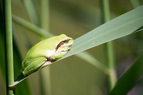 boomkikker-common-treefrog-hyla-arborea-20141219-15936488271AB2039D-0A8A-8B55-F5E8-B11B0352A4B9.jpg