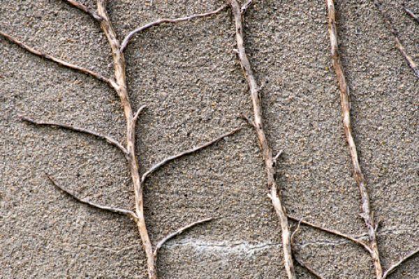 dode-klimplant-op-muur-dead-plant-on-wall-20141219-16380599420BBBE3CF-04DB-AEA7-3B05-DA0EBB970D42.jpg
