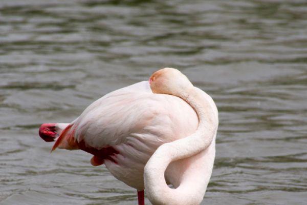flamingo-greater-flamingo-phoenicopterus-ruber-5-20141219-10622025961D552DF2-E27B-3C85-9D18-4292AAE964A4.jpg