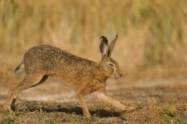 haas-hare-lepus-europaeus-1-20141219-131607554501C418F5-306D-DC31-7B9C-A033DDDE2E5A.jpg