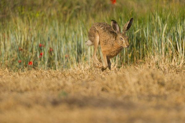 haas-hare-lepus-europaeus-20141219-157512025810CA95A6-267A-316C-C168-9AC011AA4E98.jpg