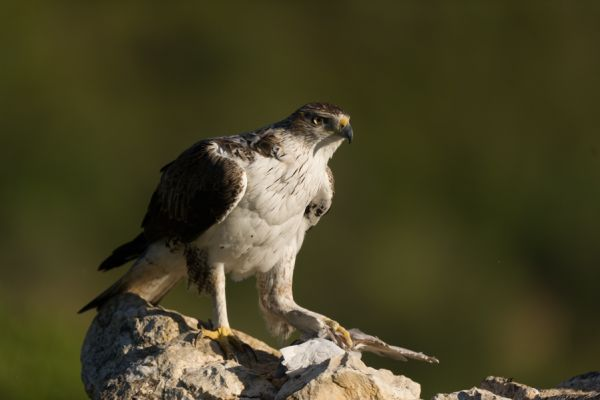 havikarend-bonellis-eagle-hieraaetus-fasciatus-2-20141219-20382712989A2FBD34-EB7B-BB08-7177-A2D45828A74F.jpg