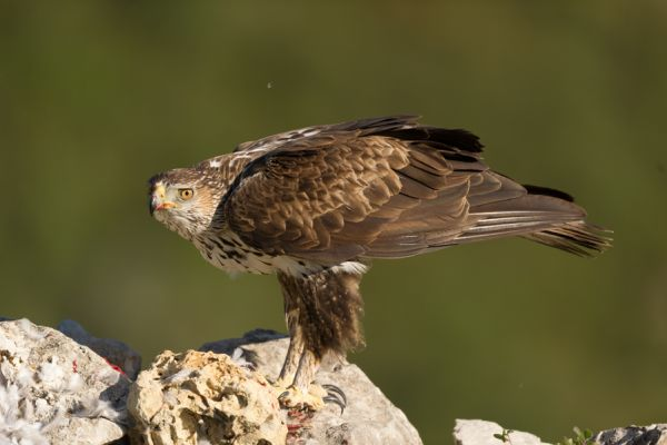 havikarend-bonellis-eagle-hieraaetus-fasciatus-3-20141219-1871282295C2245FDA-74D0-3956-9A20-098488A59E63.jpg