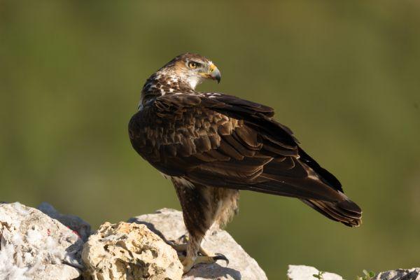 havikarend-bonellis-eagle-hieraaetus-fasciatus-4-20141219-1583914449C2228B76-285D-AF4E-4AEA-8985FF0FFB16.jpg