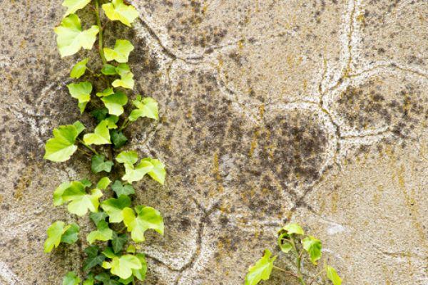 hedera-op-muur-hedera-sp-on-wall-20141219-2025258436364C0BAB-1094-3835-9360-11C6A3D0B757.jpg