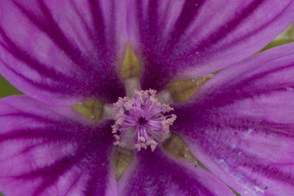 kaasjeskruid-malvaceae-20141219-136540107716575817-FA10-BF27-5BDE-56DEB083427D.jpg
