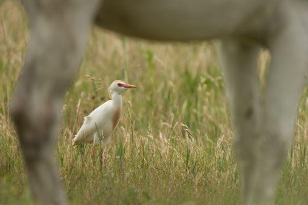 koereiger-cattle-egret-bubulcus-ibis-20141219-176570986620CAF27F-01E1-AE1E-D269-815A5A704643.jpg
