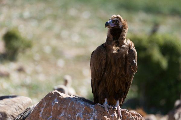 monniksgier-monk-vulture-aegypius-monachus-2-20141219-1531178743B152799B-AFC2-AC58-C73B-BEA73AF62AF5.jpg