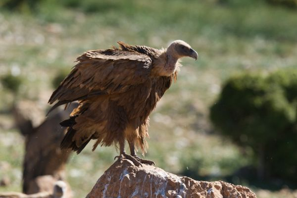 vale-gier-griffon-vulture-gyps-fulvus-20141219-199573111011276C83-7A4A-6AB8-AB24-38F87DC1C498.jpg