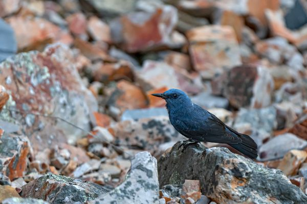 blauwe-rotslijster-blue-rocktrush-blaumerle-monticola-solitarius-male-aFD7725D5-356E-6390-6669-F8A6FCDB0FE7.jpg
