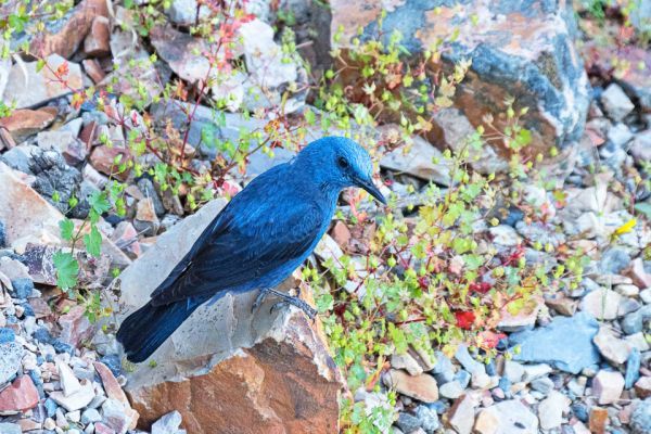 blauwe-rotslijster-blue-rocktrush-blaumerle-monticola-solitarius-male-mdhF4361A3B-00D9-30AC-0E90-55797911E11F.jpg