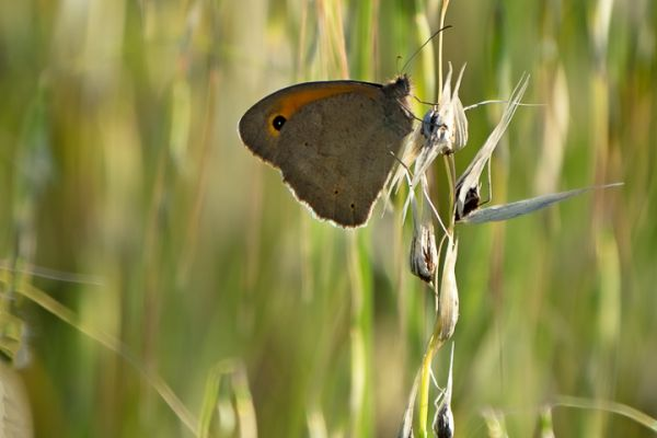 bruin-zandoogje-meadow-brown-grosse-ochsenauge-maniola-jurtina-mdhD5F2FCF2-334C-ECCF-C558-41358C9D5C59.jpg