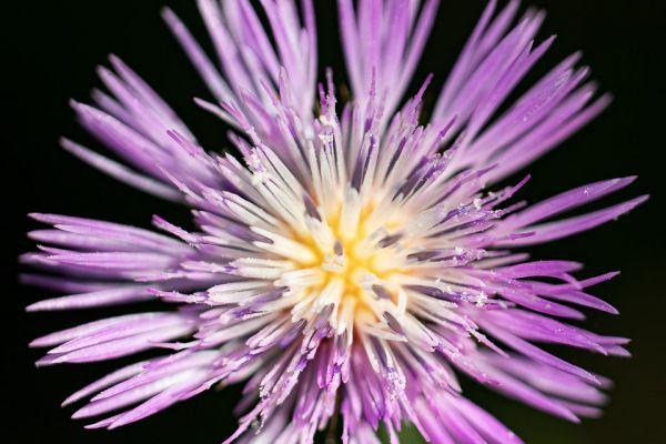 centaurea-pullata-mdh97E8B943-2AF6-F961-8FA1-FF464E0B1109.jpg