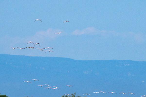 een-vlucht-flamingo-s-mdh760CC7E9-1423-6BF6-B89E-021535C224A4.jpg