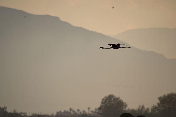 flamingo-greater-flamingo-rosaflamingo-phoenicopterus-ruber1-mdhB1926D27-52AC-E47F-86A0-6281FC6A42ED.jpg
