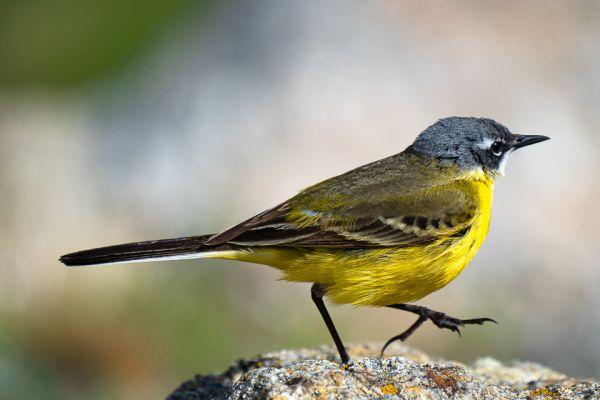gele-kwikstaart-yellow-wagtail-schafstelze-motacilla-flava-mdhE03B118D-FB76-2C70-4082-DB34C3A71693.jpg