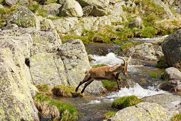 iberische-steenbok-iberian-ibex-iberiensteinbock-capra-pyrenaica-jump1aE4EBF54C-DA25-CFED-0035-66DFBD36564B.jpg