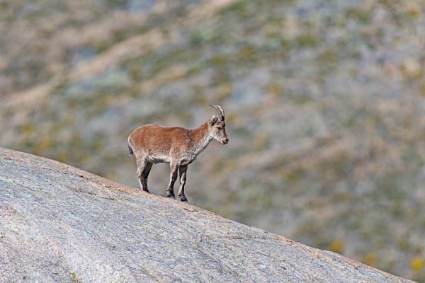 iberische-steenbok-iberian-ibex-iberiensteinbock-capra-pyrenaica24317AF4-7FE4-A7E6-A0DD-CA7FC2A59621.jpg