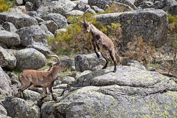 iberische-steenbok-iberian-ibex-iberiensteinbock-capra-pyrenaica5-mdh14B2EC5A-DCA9-404A-7892-1721E4A5B107.jpg