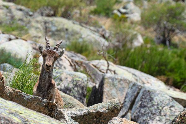 iberische-steenbok-iberian-ibex-iberiensteinbock-capra-pyrenaica8-mdh971204D9-6132-16F0-2A78-6A95E414391A.jpg