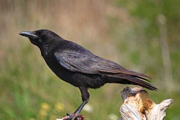 kraai-corrion-crow-aaskraehe-corvus-corone1-mdhDF76992E-7487-762A-9654-D3561AD62F74.jpg