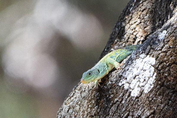 parelhagendis-jewelled-lizard-perleidechse-timon-lepidus1-mdhA2D145A4-3915-8FC6-9EED-84EB314970BF.jpg