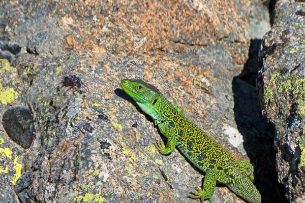 parrelhagendis-jewelled-lizard-perleidechse-timon-lepidus-mdhD2204466-16D3-E7BE-E3C2-59F0A3573E0C.jpg