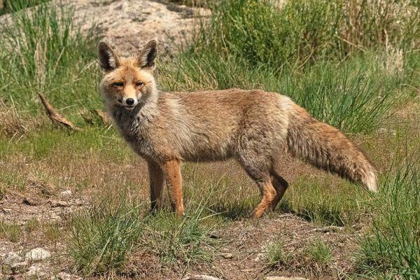 rode-vos-red-fox-rotfuchs-vulpes-vulpes-mdh270B7F01-DA25-4112-2F6A-E5EC676666F0.jpg