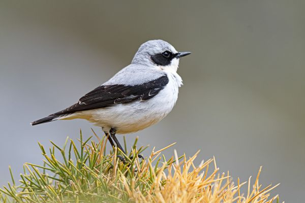 tapuit-northern-wheatear-steinschmaetzer-oenanthe-oenanthe182CCE875-2A6B-E3FB-BCEE-9AE621A90209.jpg