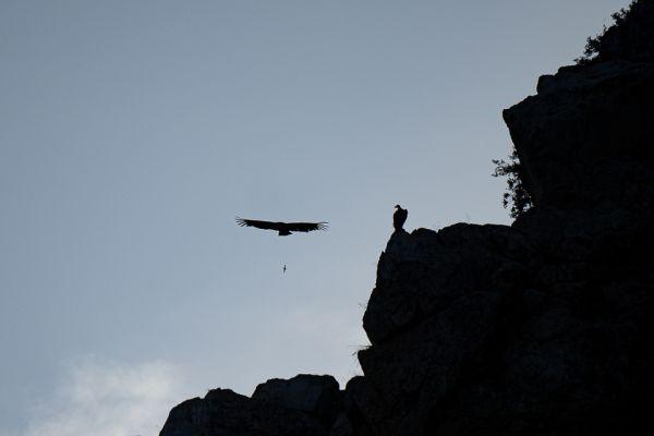 vale-gier-griffon-vulture-gaensegeier-gyps-fulvus2-mdhFFB8E817-FB28-9FD1-9540-778967861CEB.jpg