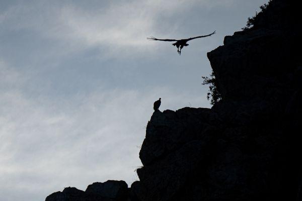 vale-gier-griffon-vulture-gaensegeier-gyps-fulvus3-mdh03CA2B7D-ABE6-D601-E3BA-98B855444457.jpg